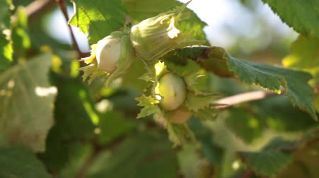 avelã : Young green hazelnuts. Hazelnut grows on a tree.