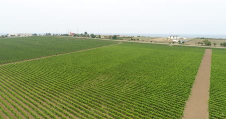 aerialphotography : Aerial video, large plantations of grapes. Green vineyards in the Kuban.