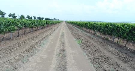 kuban : Green vineyards in the Kuban. Aerial video, large plantations of grapes.