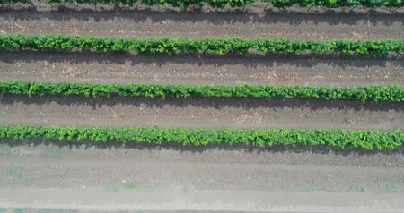 aerialphotography : Green vineyards, growing grapes. Aerial video, plantations of grapes. Stock Footage