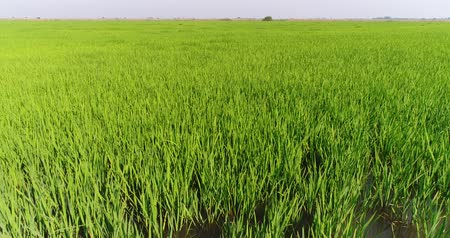 çiftlik : Aerial - Rice plantations, water meadow. Green rice field.