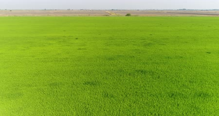 kuban : Aerial view, rice plantations, water meadow. Green rice field.