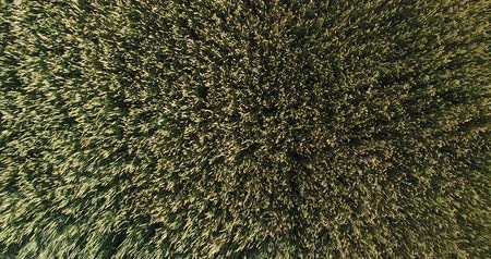 aerialphotography : Aerial photography, wheat field, wheat harvest. Stock Footage