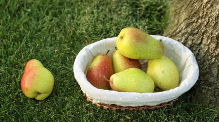 pereira : Beautiful pears in a basket on green grass. Harvesting pears.