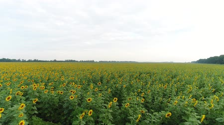 aerialphotography : Aerial photography is a field of sunflowers. Growing sunflowers.