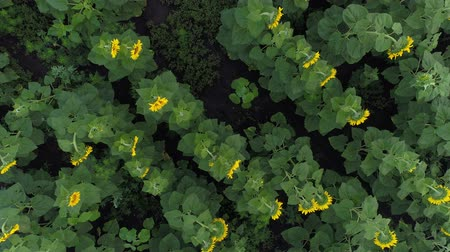 aerialphotography : Aerial view - field of sunflowers. Growing sunflowers.
