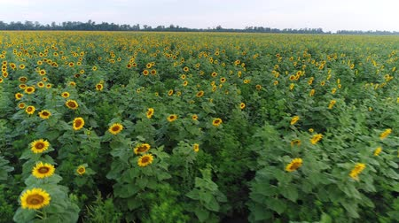 aerialphotography : Field of sunflowers. Aerial view - flowering sunflowers. Stock Footage