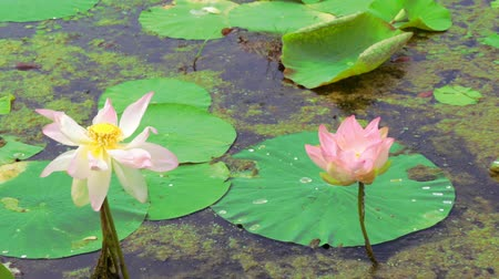 liliom : Water lilies. Pink lotuses and green water lilies.