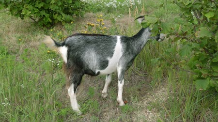 kecske : Farm, goats, cattle. A goat on a meadow is eating grass. Stock mozgókép