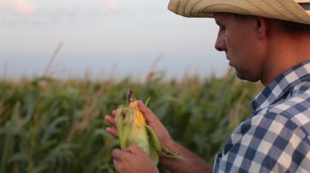corn crop : A man is a farmer in a field of corn. Stock Footage