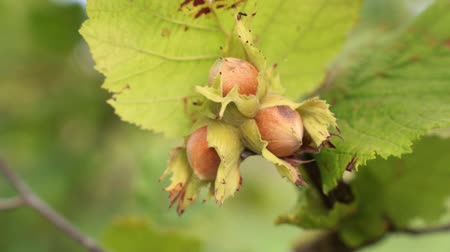 hazelnuts : Nuts of hazelnut on a tree. Hazelnuts close-up.