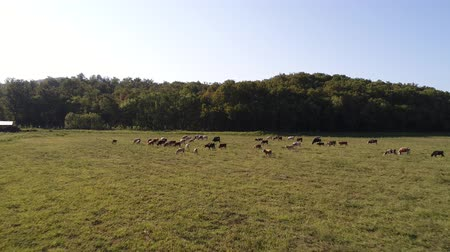 ranč : Cows in the pasture, view from the air.