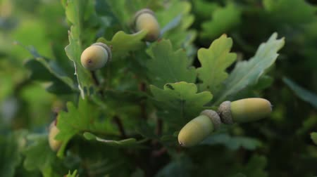 meşe palamudu : Acorns on an oak tree.