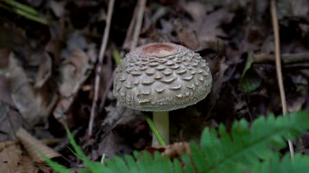 agaric : Poisonous inedible mushroom, grebe in the forest.