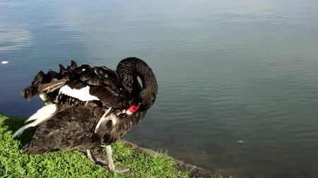 zwaan : Black Swan on the lake.