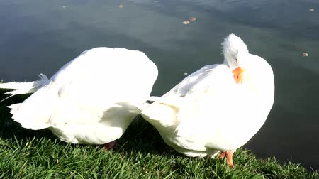 kaczka : Two white goose on the lake. Wideo