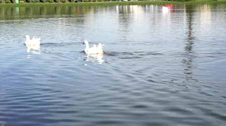 kaczka : White geese floating on the lake.