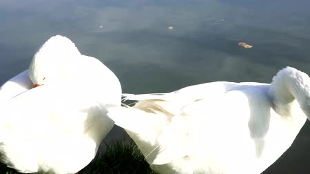 kaczka : Two white goose on shore of lake preen their feathers. Wideo