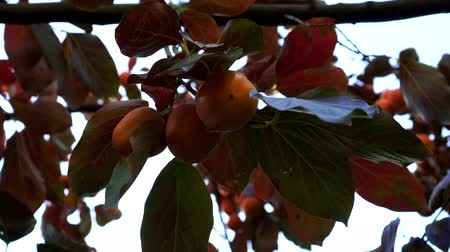zöld levél : Persimmon grows on a tree.