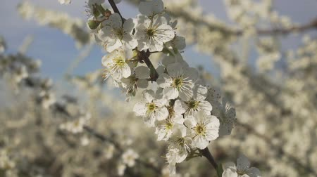 lehet : Spring, apple or fruit tree flower, closeup.
