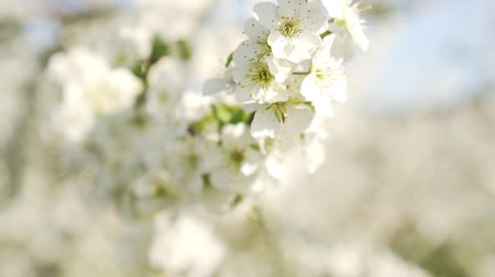lehet : Spring, apple trees, flowering orchard, close-up.