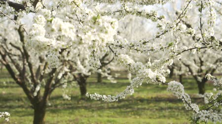 lehet : Blooming apple trees, an orchard in the spring without people.