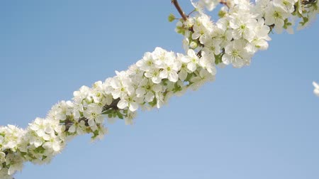 hó : Flowering branch of apple or fruit tree close-up against the sky. Stock mozgókép
