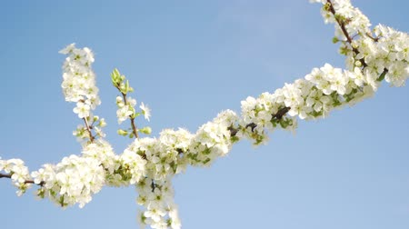 lehet : Flowering branch of a tree against a blue sky, spring and nature.