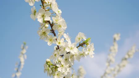 lehet : Blooming apple tree, close-up against the sky. Spring, the trees are blooming. Stock mozgókép