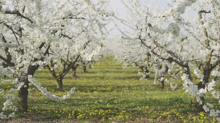 lehet : Spring, flowering trees, apple orchard. No people. Stock mozgókép