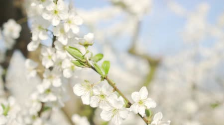 lehet : Spring nature, blooming apple tree and trees, closeup. Stock mozgókép