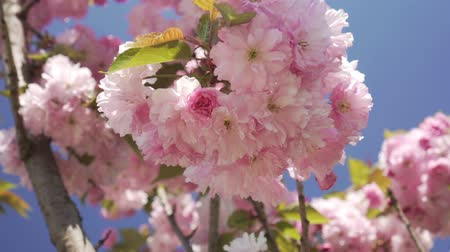 lehet : Spring, nature blooms. Beautiful flowering tree in spring.