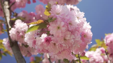 lehet : Beautiful flowering tree in spring. Spring, nature blooms.