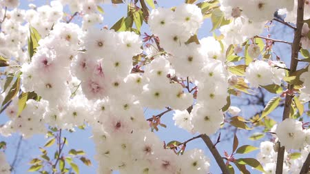 lehet : Beautiful white flowers on the tree. Spring, nature blooms.