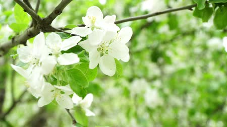 lehet : White flowering tree on a background of green foliage, spring and nature. Stock mozgókép