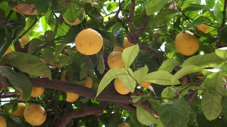 savanyú : Yellow lemons grow on the tree.