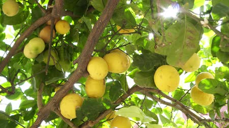 ハング : Lemon tree, yellow lemons hanging on the branches, close-up.