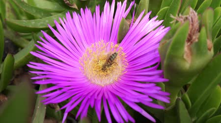 pollinating : A bee pollinates a pink flower, a bee on a flower. Stock Footage