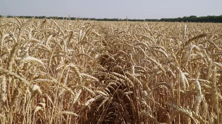 centeio : A large field of wheat, harvest, summer, agriculture. Vídeos