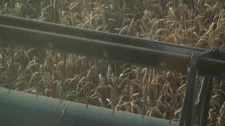 kombájn : Harvesting wheat harvester rides on a field of wheat. Reel, close-up, slow motion.