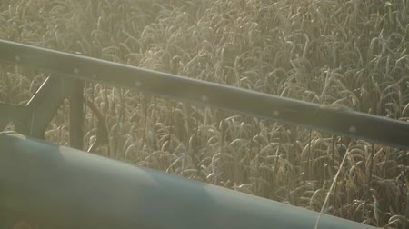campo grano : Combine works in the close-up. Harvesting wheat, grain, slow motion.