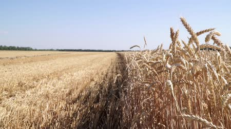campo grano : Panorama of a wheat field. Ripe wheat, harvesting.