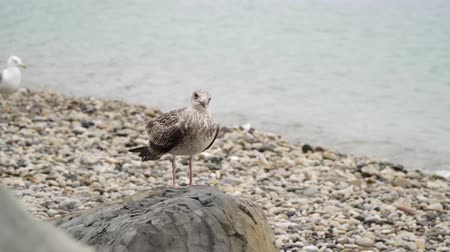 csaj : A seagull sits on a stone by the sea.