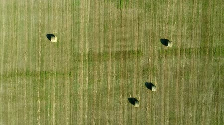 palheiro : Aerial: green field, haystacks and straw rolls, agriculture. Stock Footage