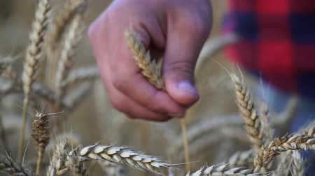 plucks : A man farmer plucks an ear of wheat, close-up.