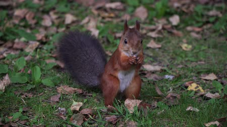 kürklü : Squirrel in the forest on the grass eating nuts.