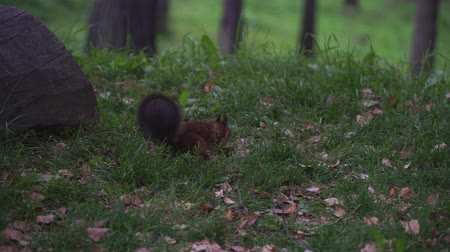 sciurus : Forest squirrel eating a nut on the ground. Stock Footage