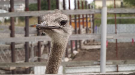 pštros : Ostrich farm. Ostrich looks at the camera, close-up. Dostupné videozáznamy