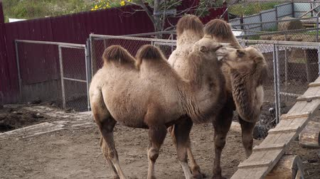 enclosure : Camels on the farm with pets.