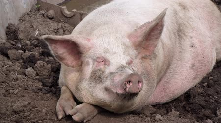mentiras : A fat pig lies in the mud on the ground. Vídeos